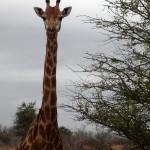 Wild giraffe looking at the camera