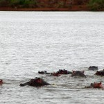 Hippo group in water