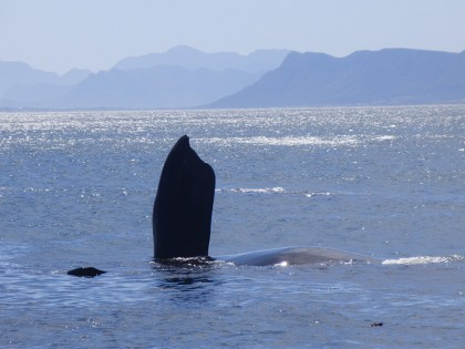 Humpback whale outside Cape Town