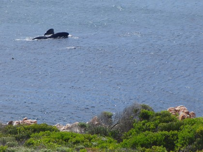 Humpback Whale near coast of Cape Town
