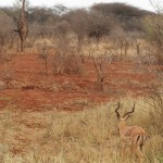 Impala antelope looking at a giraffe
