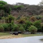 Kruger Park - hippos on land