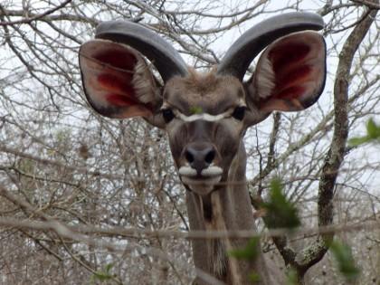 Kudu staring at me