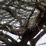 Leopard up in tree – Kruger Park