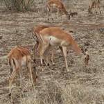 Male antelopes eating