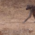 Baboon walking on trail