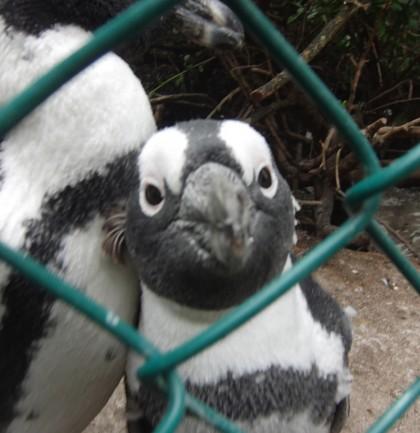 Penguin looking through a fence
