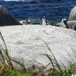 Penguins on sea rock with grass in front