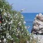 Plastic ribbons on a bush near Aphrodite's rock