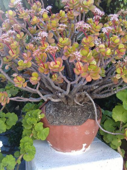 Pot plant, Gran Canaria, Spain