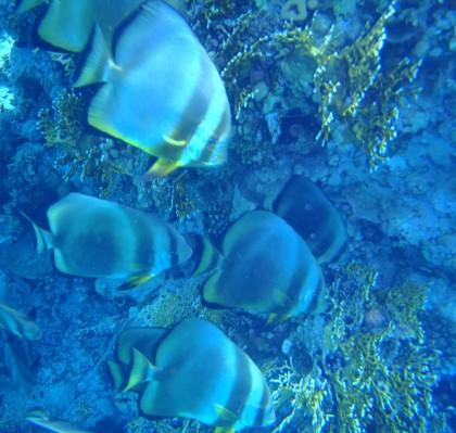 Ras Muhammad big fish