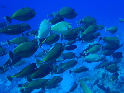 Ras Muhammad napoleon fish