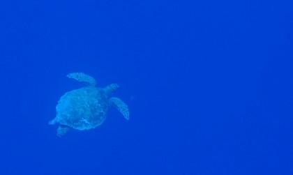 Ras Muhammad turtle