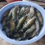 Raw tiger prawns in bucket