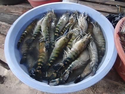Raw tiger prawns in bucket