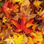 Red brown yellow leaves