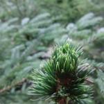 Swedish pine