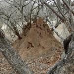 Tree inside termite stack