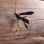 Unknown flying insect - Kruger Park