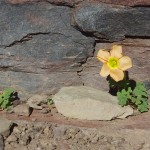 Yellow flower living on mountain rock