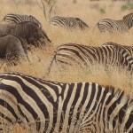Zebras and wildebeests - Kruger Park