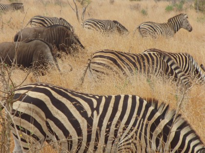 Zebras and wildebeests - Kruger Park