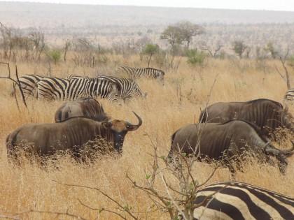 Zebras and wildebeests together on savanna